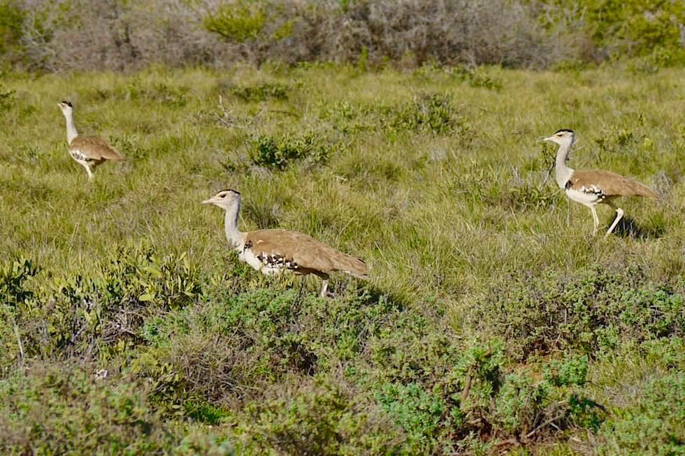 Trappen oder im engl. Bustards - Cape Range National Park - Western Australia