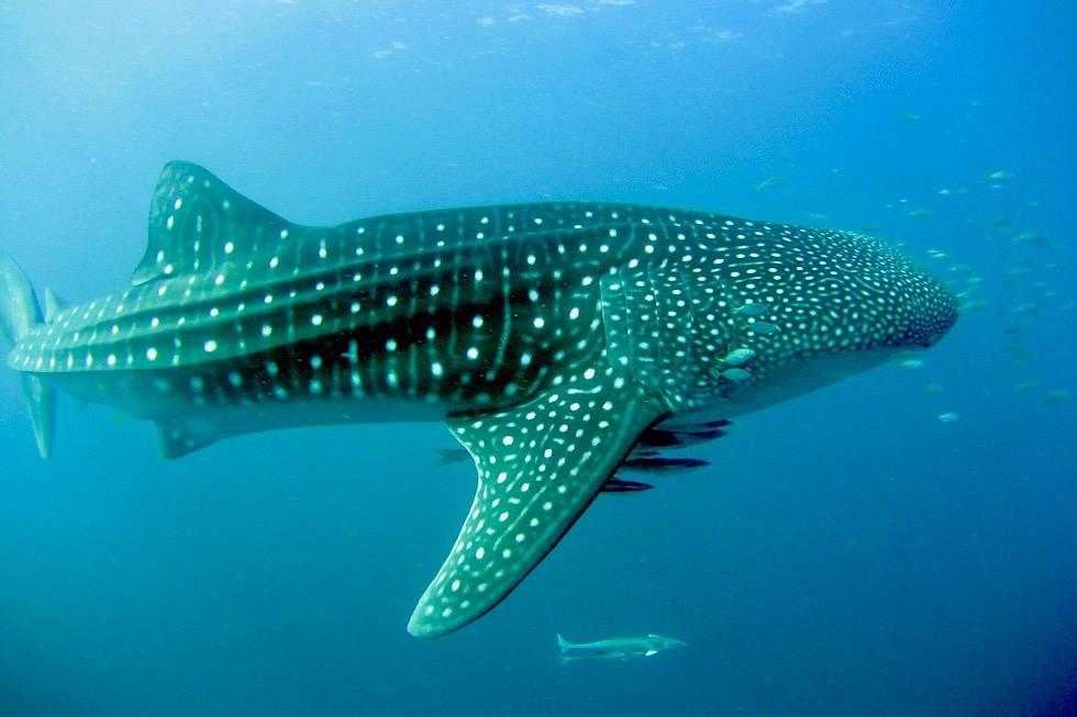 Ein überwältigendes Erlebnis: Schnorcheln mit Walhaien - Ningaloo Reef & Coral Bay - Western Australia