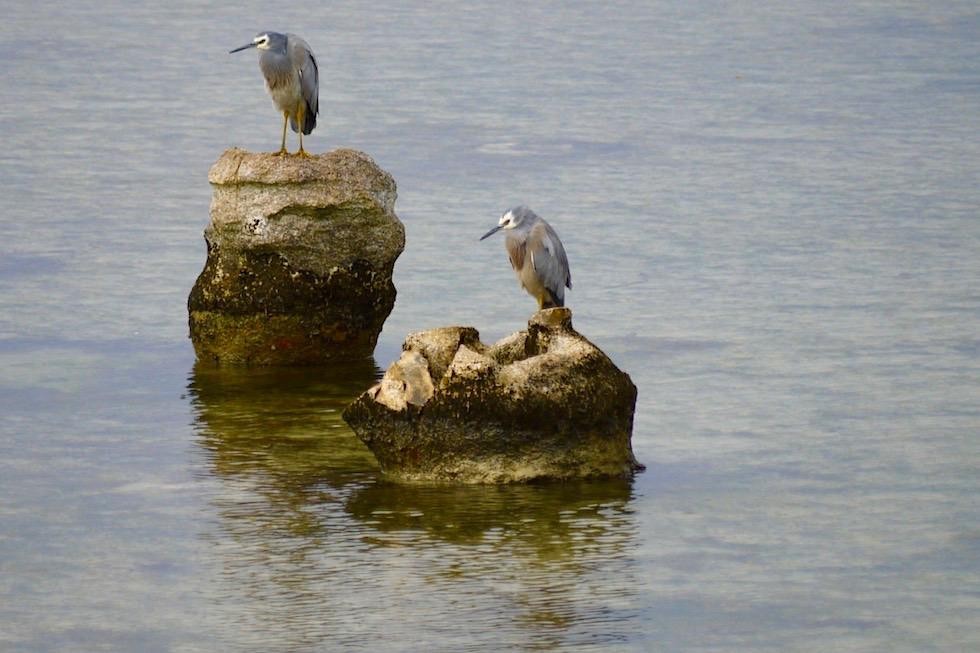 White-face Heron oder Weißwangenreiher als Jungvogel - Limestone Coast bei Port Macdonnell - South Australia