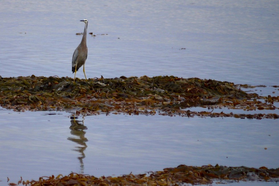 White-faced Heron oder Weißwangenreiher- Limestone Coast bei Port Macdonnell - South Australia