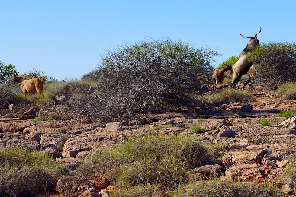 Sie gehören nicht hierher: Wild Goats oder Wilde Ziegen - Cape Range National Park - Western Australien
