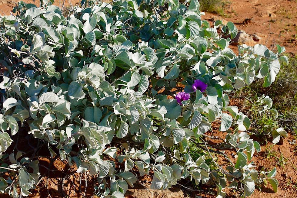 Wildblumen - Cape Range National Park - Western Australia