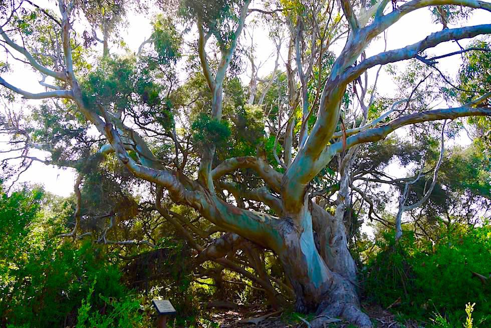 Tasman Blue Gum oder Blauer Eukalyptus am Wolley Lake - Beachport - South Australia