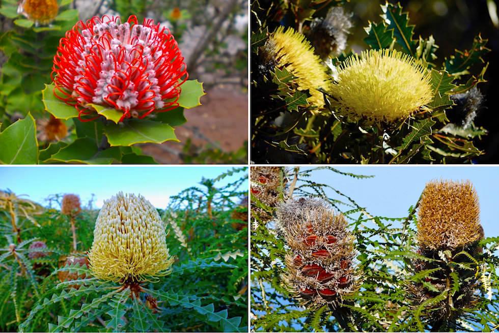 Verschiedene Banksia Blüten Arten - Fitzgerald River National Park - Western Australia