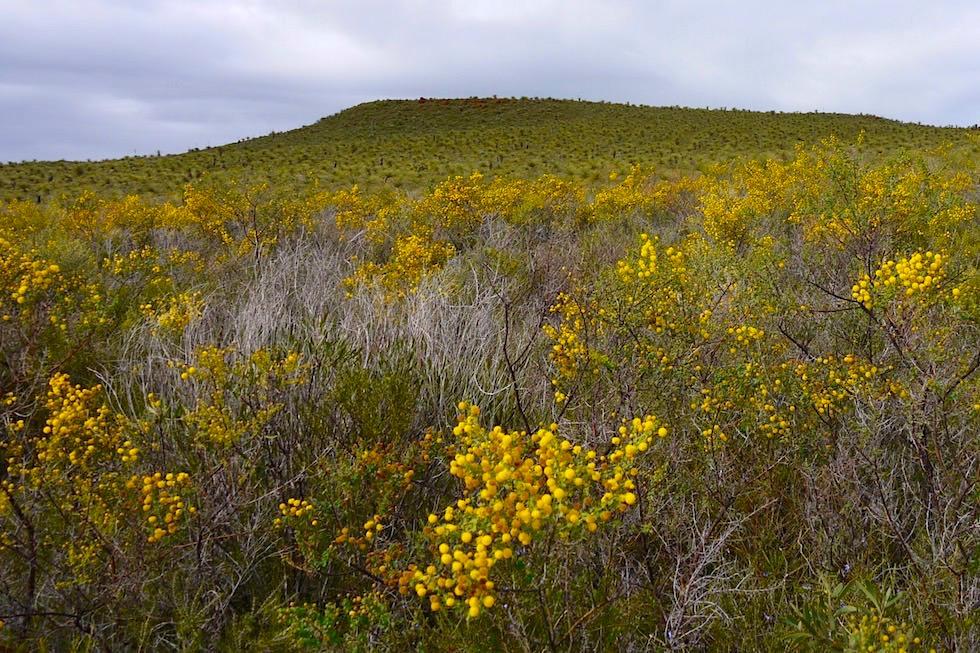 Wildblumen Acacia pulchella oder Prickly Moses oder Mosesdorn - Lesueur National Park - Western Australia