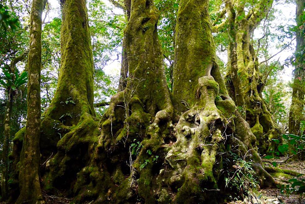 Antartic Beech Tree - Gondwana Tree: Wurzeln uralter australischer Dinosaurier Bäume - Springbrook National Park & Best Of All Lookout - Queensland