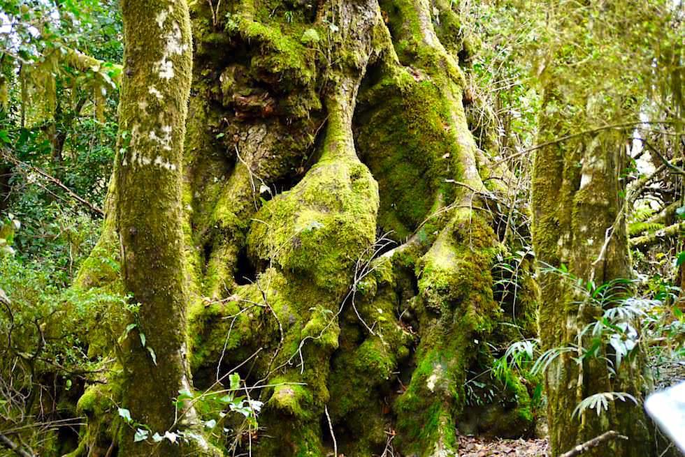 Uralte Gondwana Bäume (Antartic Beech) & Wurzeln - Best Of All Lookout im Springbrook National Park - Queensland