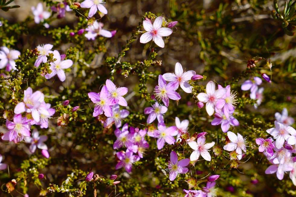 Wildblumen im Kalbarri National Park - Western Australia