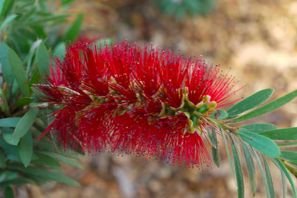 Wildblumen: Callistemon, Zylinderputzer oder Pfeifenputzer - Lesueur National Park - Western Australia
