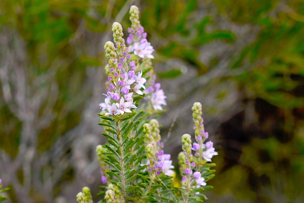 Wildblumen: Eine der vielfältigen Calytrix oder Starflower - Lesueur National Park - Western Australia