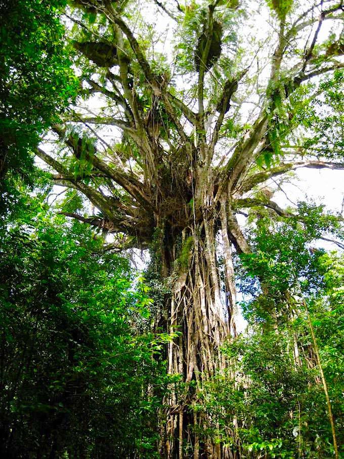 Gigantischer Cathedral Fig Tree bei Danbulla - Atherton Tablelands - Queensland