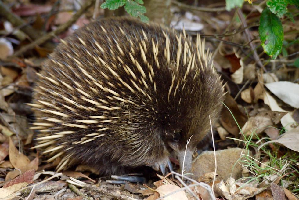 Mit ein bisschen Glück triffst du auch auf einen Echidna - Cockle Creek Wanderung - Tasmania