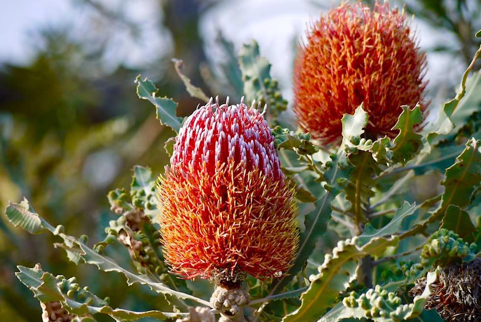 Australische Wildblumen: Firewood Banksia oder Banksia menziesii - Mt Lesueur National Park - Western Australia
