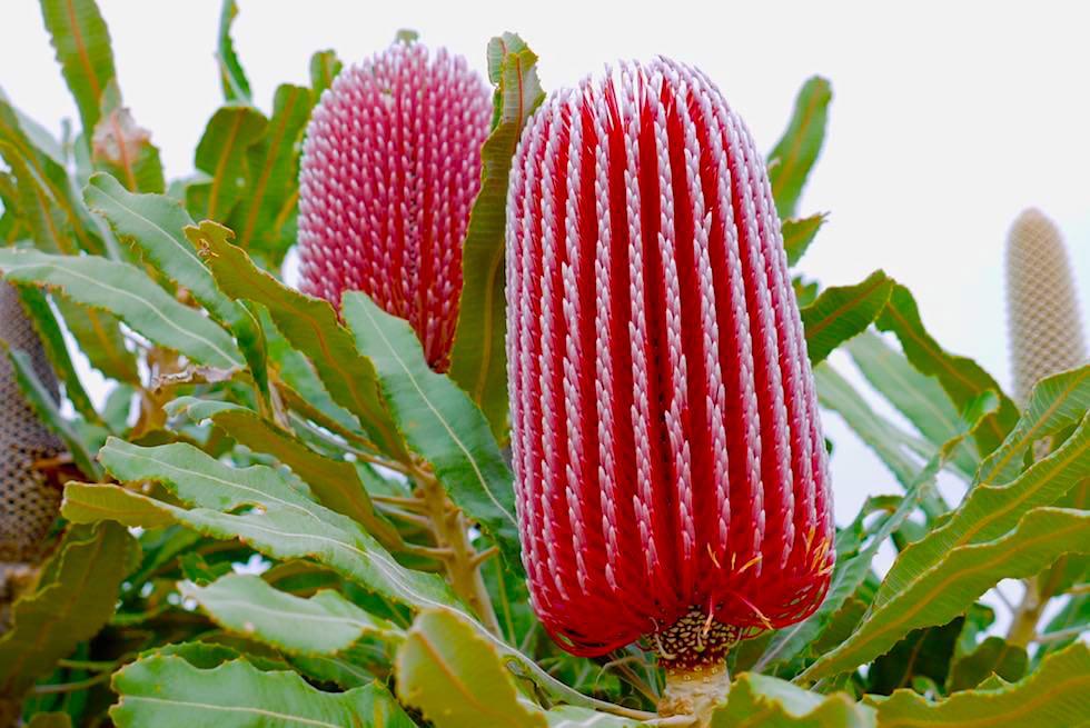 Firewood Banksia oder Banksia menziesii - Mount Lesueur National Park - Western Australia