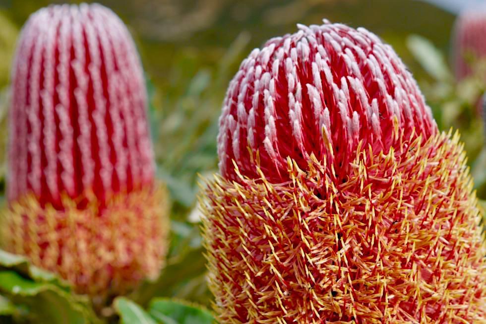 Firewood Banksia - Mt Lesueur - Western Australia