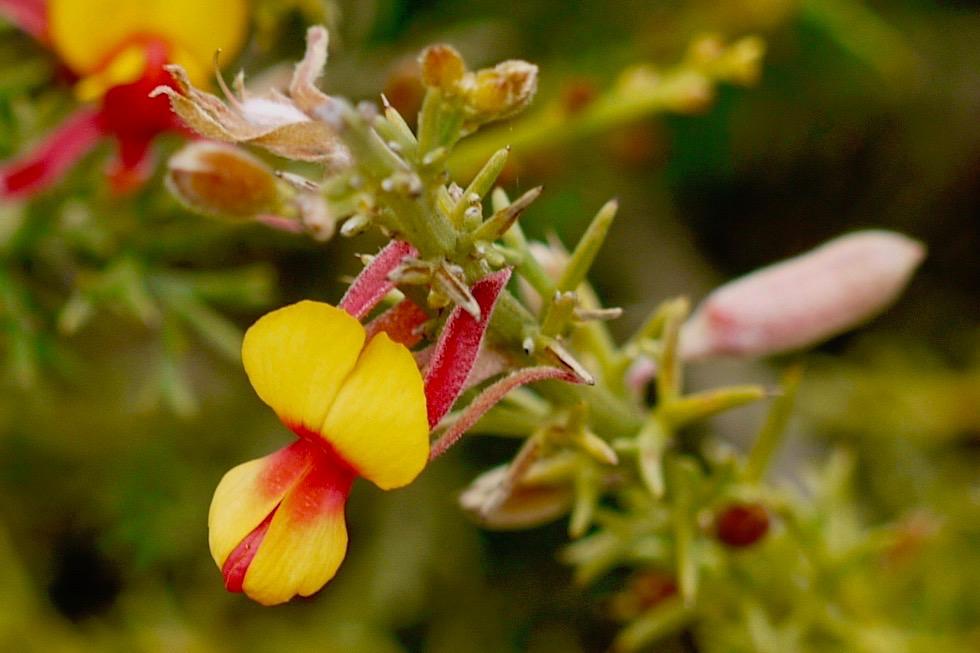 Gastrolobium Schmetterlingsblütler - Lesueur NP - Western Australia