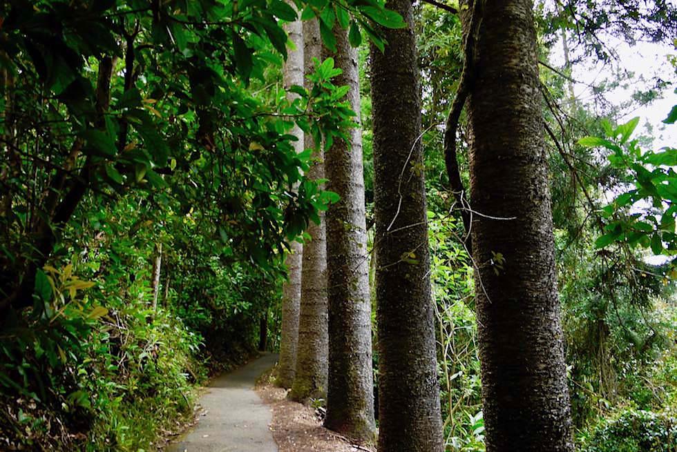Gerade Bäume - Natural Bridge - Springbrook NP - Queensland