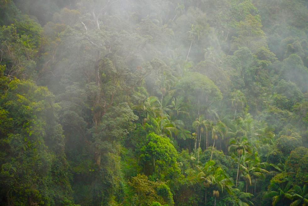 Leuchtendes Grün & Nebel: Gondwana Rainforest - Springbrook National Park - Hinterland der Gold Coast von Queensland