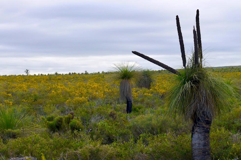 Grasstree & Bush - Lesueur NP - Western Australia