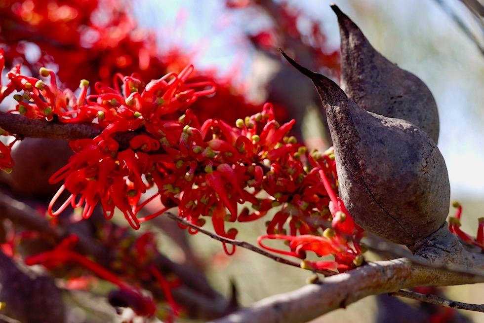 Wunderschöne Grevillea - Wildblume - Kalbarri National Park - Western Australia