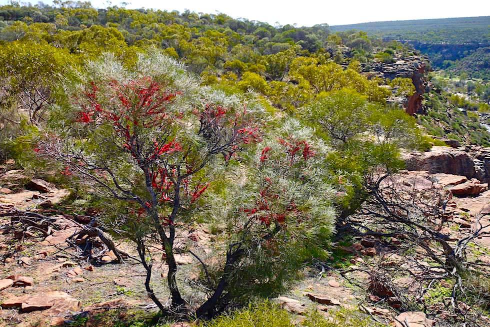 Grevilleen Busch - Kalbarri National Park - Western Australia