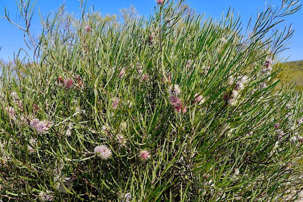 Hakea Busch - Kalbarri National Park - Western Australia