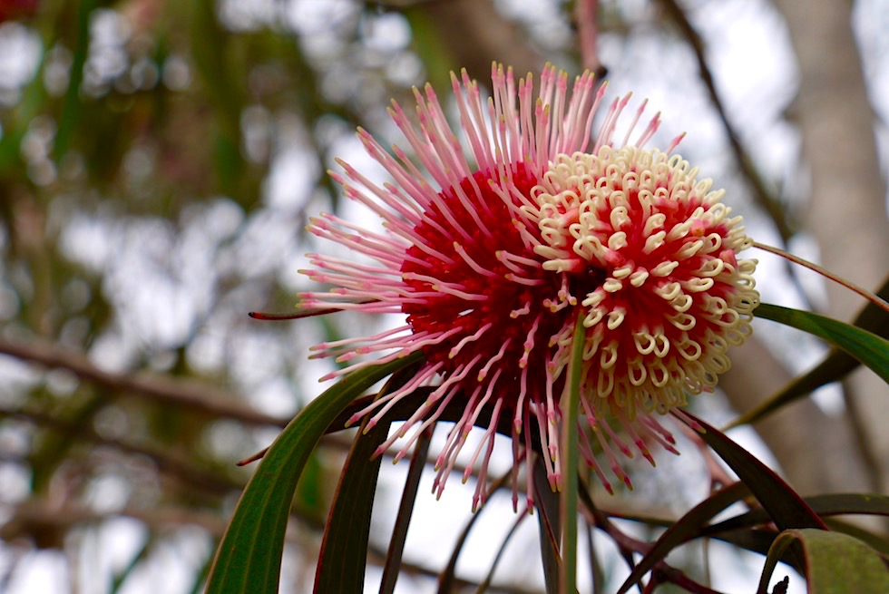 Wildblumen: Bezaubend schöne Hakea Laurina oder Nadelkissen Hakea - Lesueur National Park - Western Australia