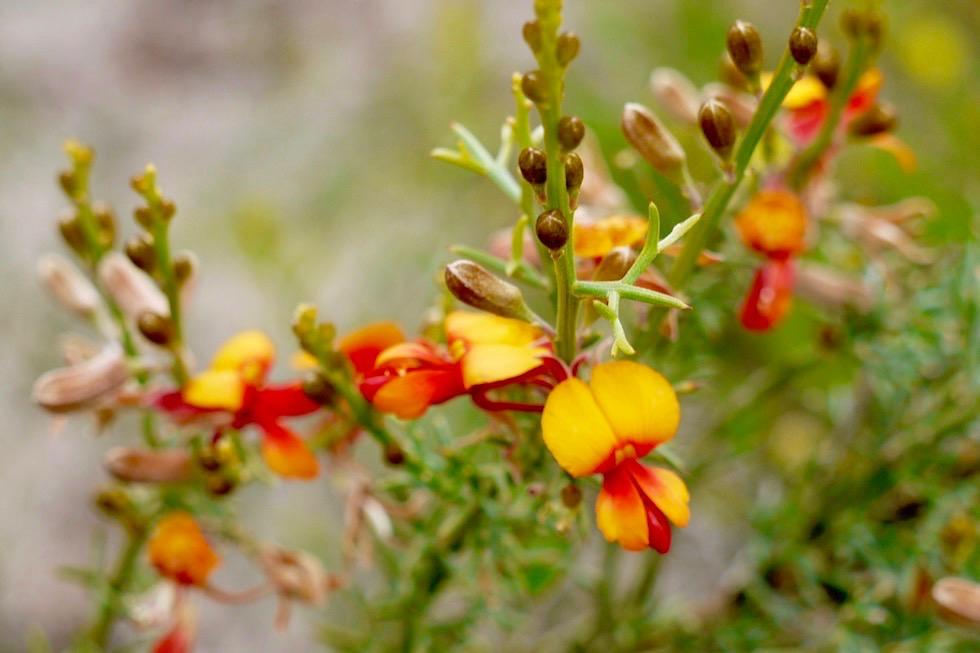 Wildblumen: Jacksonia oder Schmettlingsblütler - Lesueur National Park - Western Australia