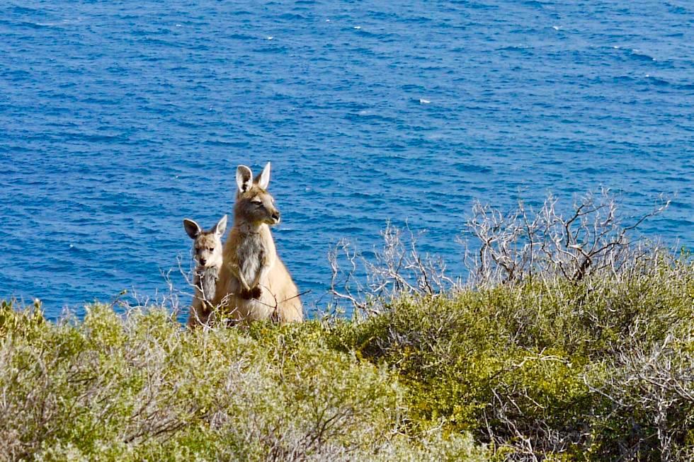 Kängurus - Natural Bridge - Kalbarri National Park - Western Australia
