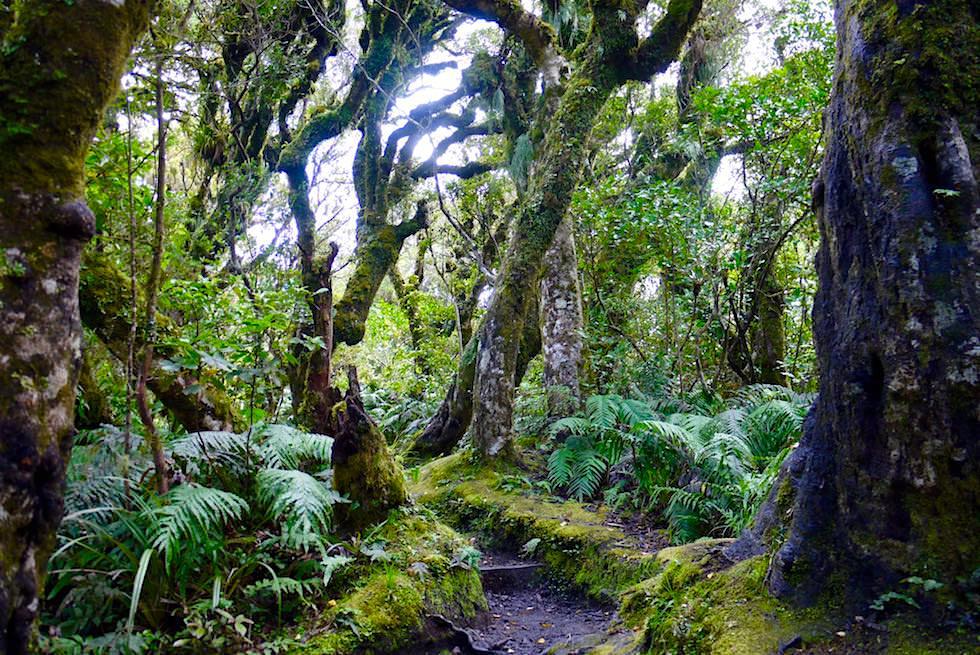 Spaziergang durch einen Märchenwald: Kapuni Loop Track - Dawson Falls im Egmont National Park - Nordinsel Neuseeland