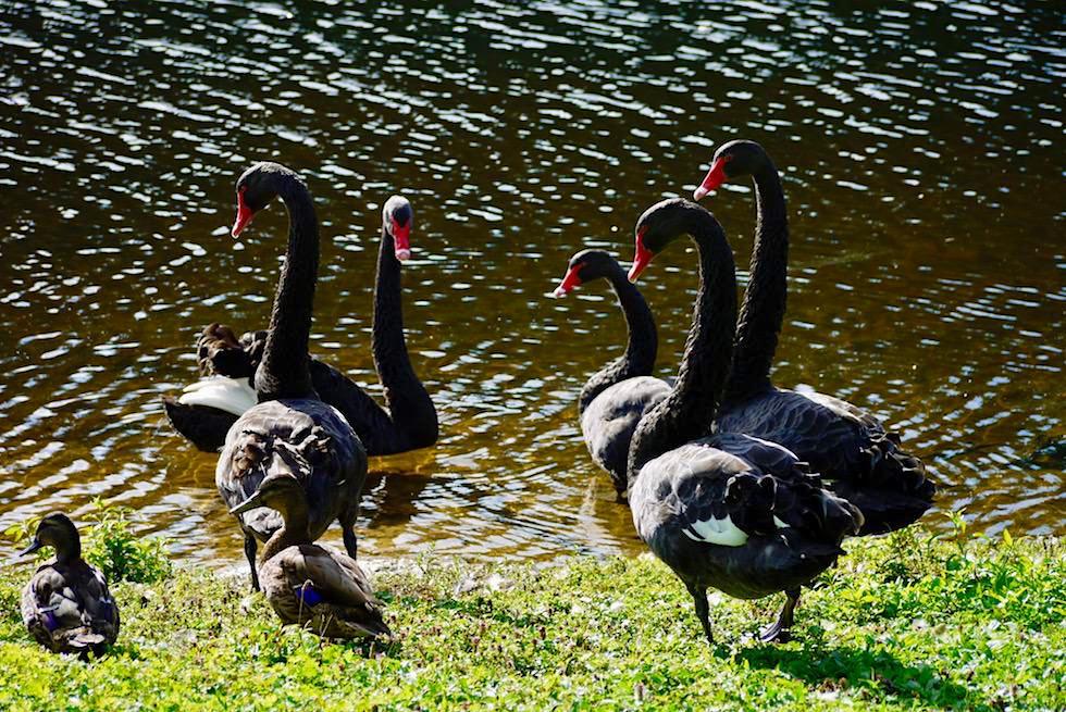 Spaziergang Lake Mangamahoe - Schwarze Schwäne - Nordinsel Neuseeland
