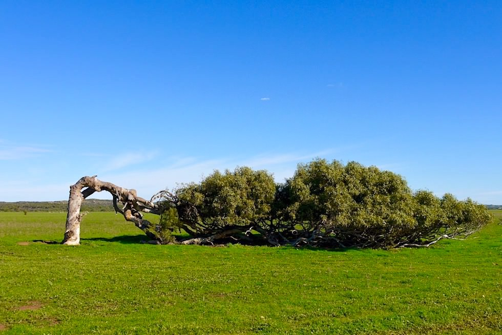 Leaning Tree - Greenough - Western Australia
