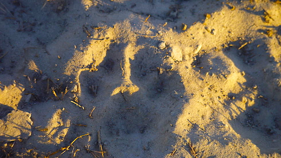 Leopard Fußabdruck im Sand - Okavango Delta - Botswana