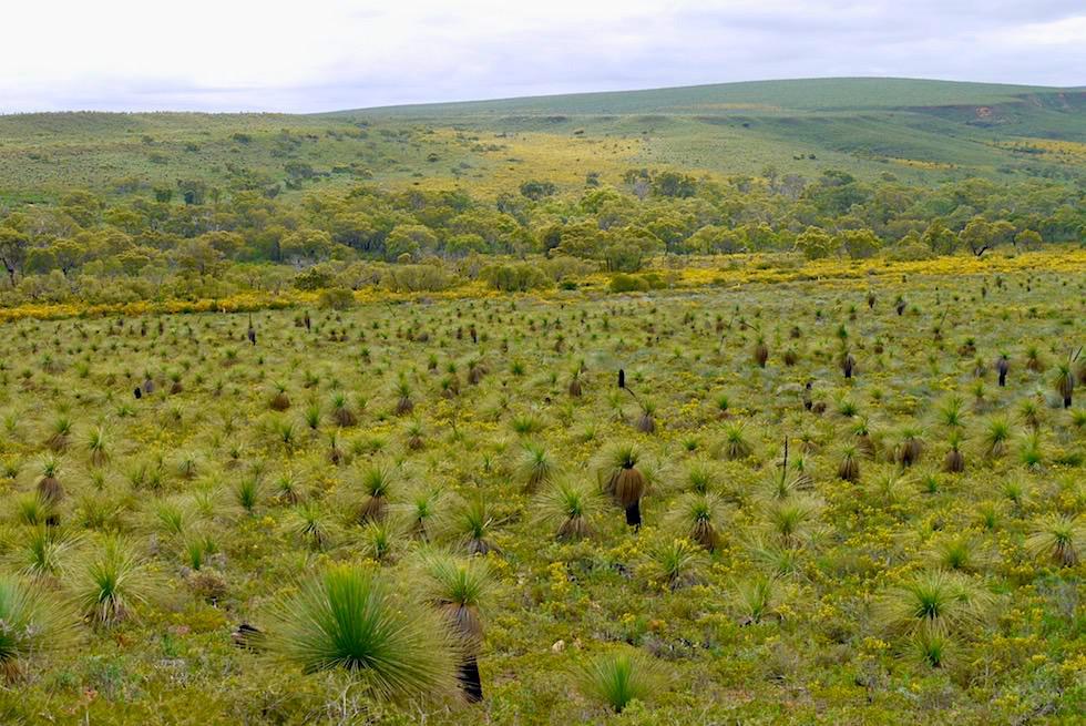 Lesueur National Park - Blick auf Grasbäume & Heidelandschaft - Western Australia
