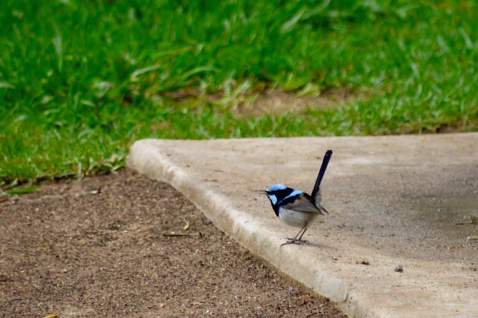 Lovely Fairy-Wren oder Prachtstaffelschwanz - Springbrook National Park - Queensland
