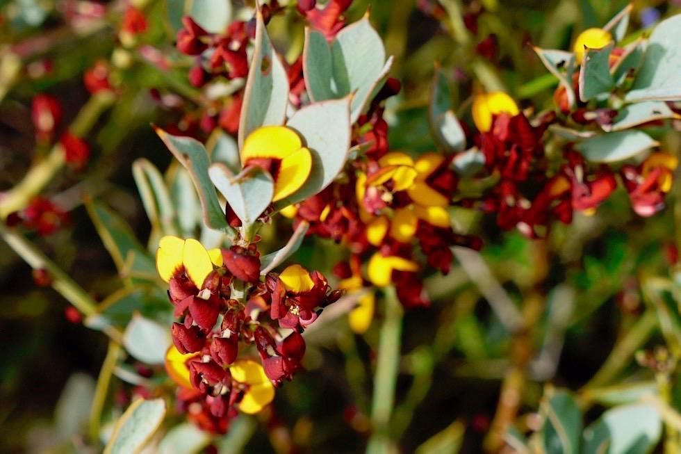 Mirbelieae - Wildblumen im Lesueur National Park - Western Australia