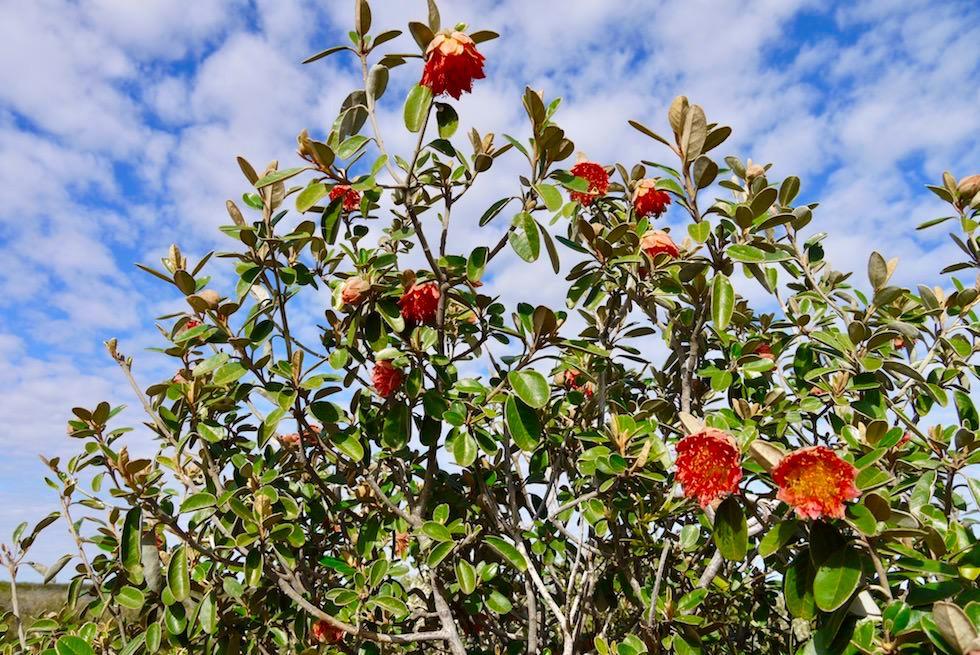 Western Australiens Wildblumen: Murchison Rose - Kalbarri National Park