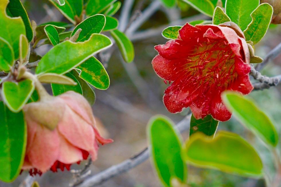 Wunderschöne Wildblumen: Murchison Rose - Kalbarri National Park & Coral Coast - Western Australia
