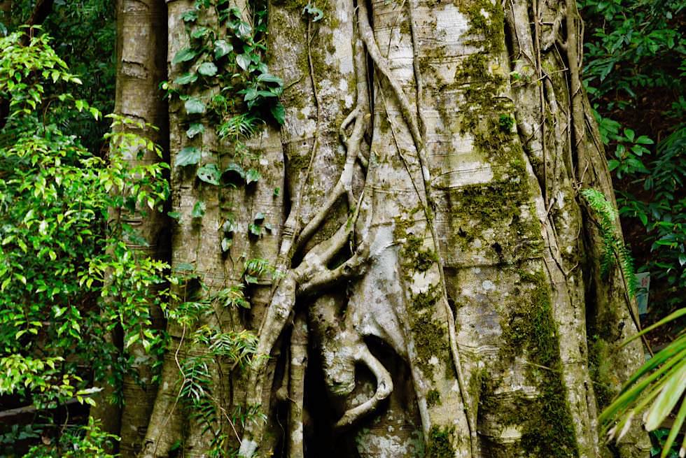 Natural Bridge - Strangler Fig Tree - Springbrook National Park - Queensland
