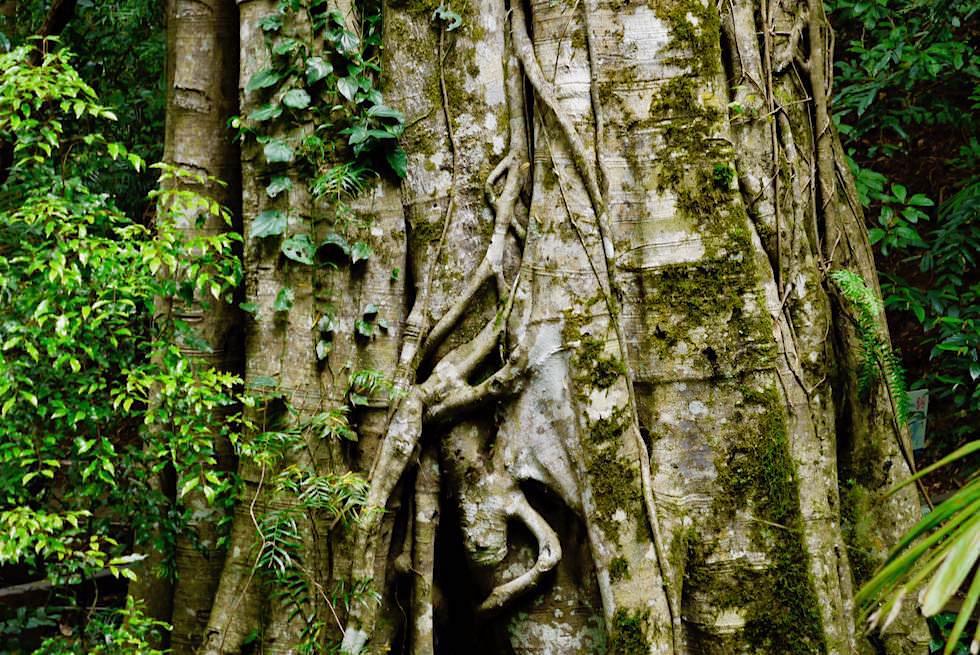 Natural Bridge - Strangler Fig Tree - Springbrook National Park - Queensland