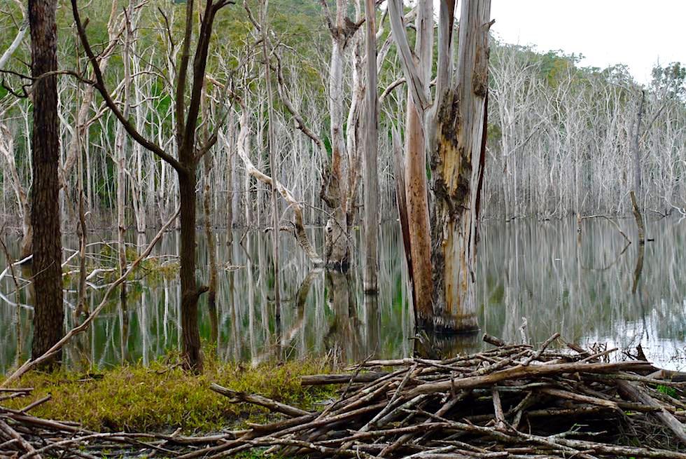 Numinbah Valley - Mystische Spiegelung toter Bäume am Hinze Dam & Advancetown Lake - Gold Coast Hinterland - Queensland