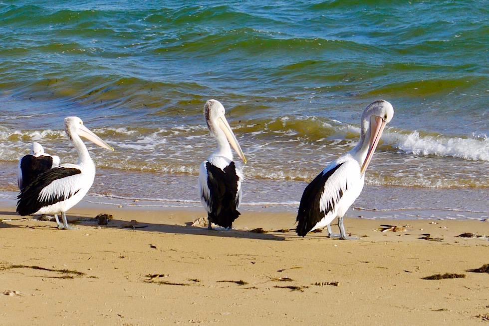 Pelikan Fütterung - Kalbarri - Western Australia