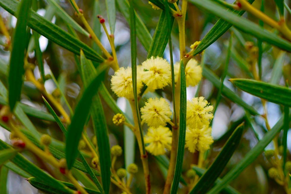 Wildblumen: Prickly Moses oder Echte Akazie, Mosesdorn- Lesueur National Park - Western Australia