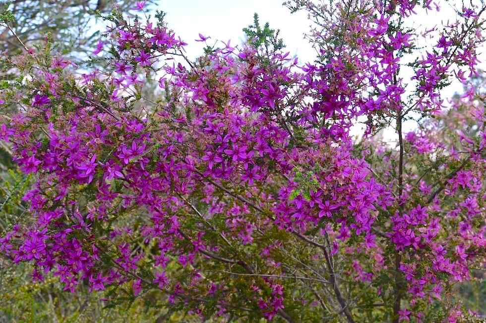 Purple Starflower - Lesueur National Park - Western Australia
