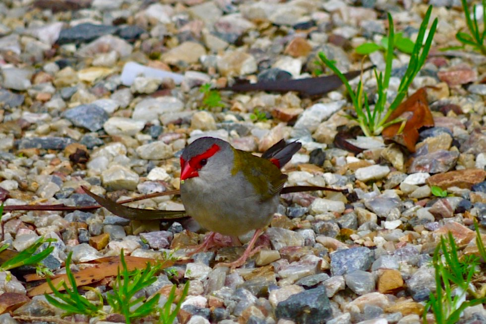 Schön anzusehender Prachtfink: Red Browed Finch oder Dornastrild - Springbrook National Park - Queensland