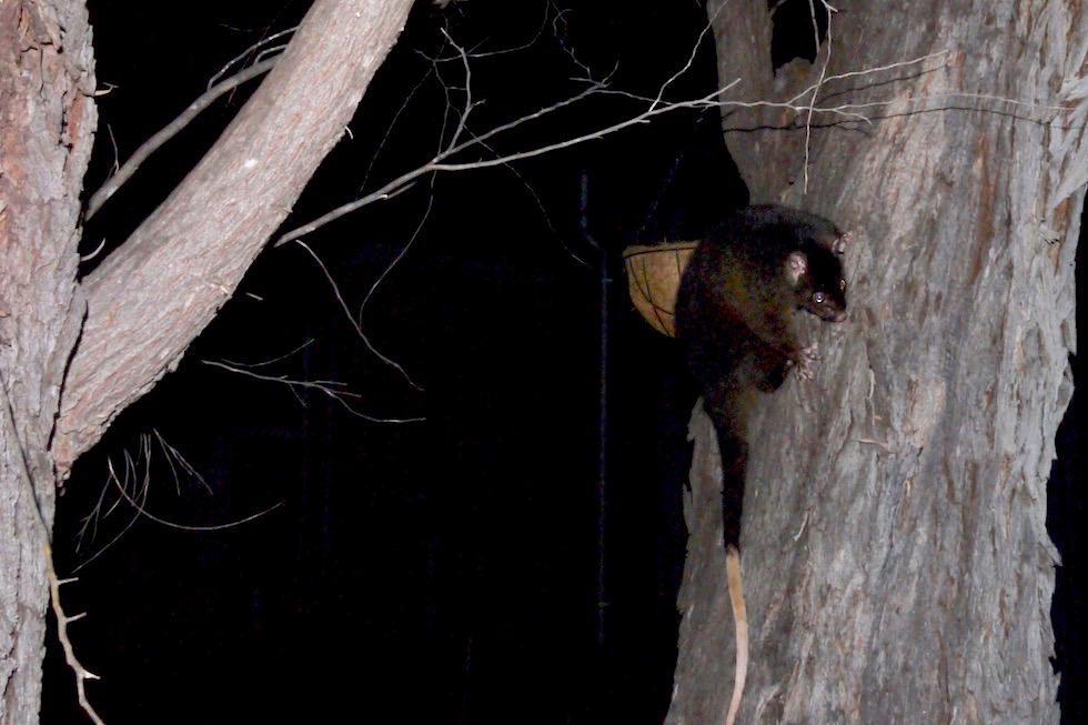 Ringelschwanzbeutler oder Gemeiner Ringbeutler besser bekannt unter seinen englischen Namen: Ringtail Possum - Western Australia
