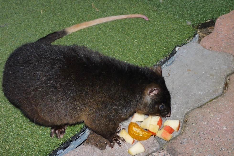 Volle Bestechung! Leckeres Obst für Ringtail Possum oder Ringelschwanzbeutler - Estuary Hideaway Holiday Park - Western Australia