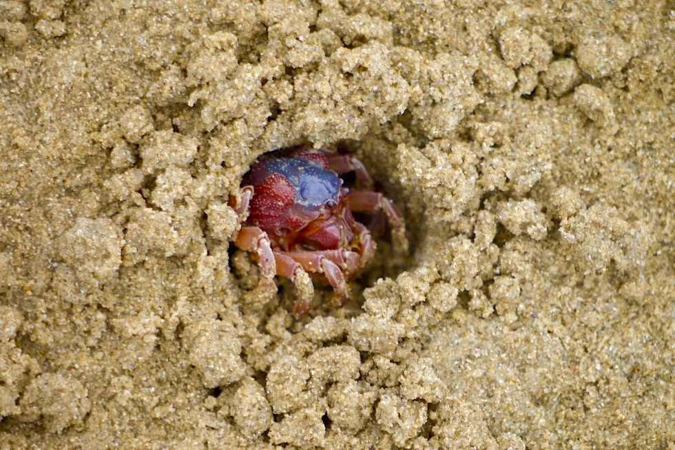 Sand-Bubbler Crab (Scopimera globosa) versteckt sich im Sand - Cockle Creek - Tasmania
