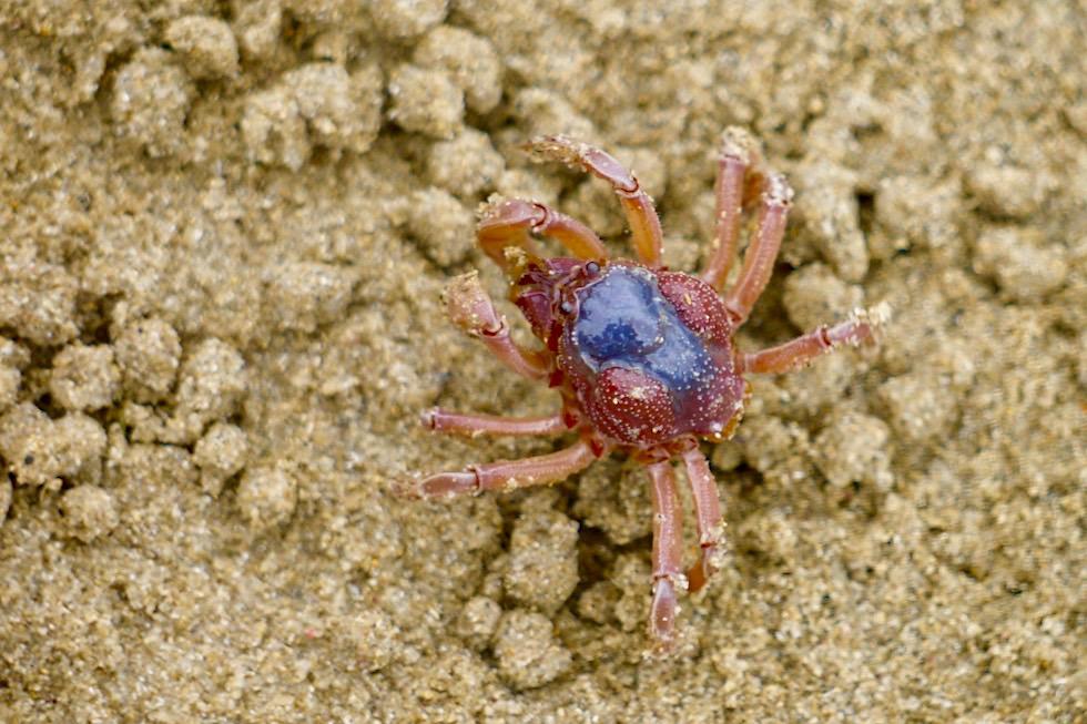 Lustig aussehende Sand-Bubbler oder Knödel-Krabben beim Fressen - Cockles Creek - Tasmanien