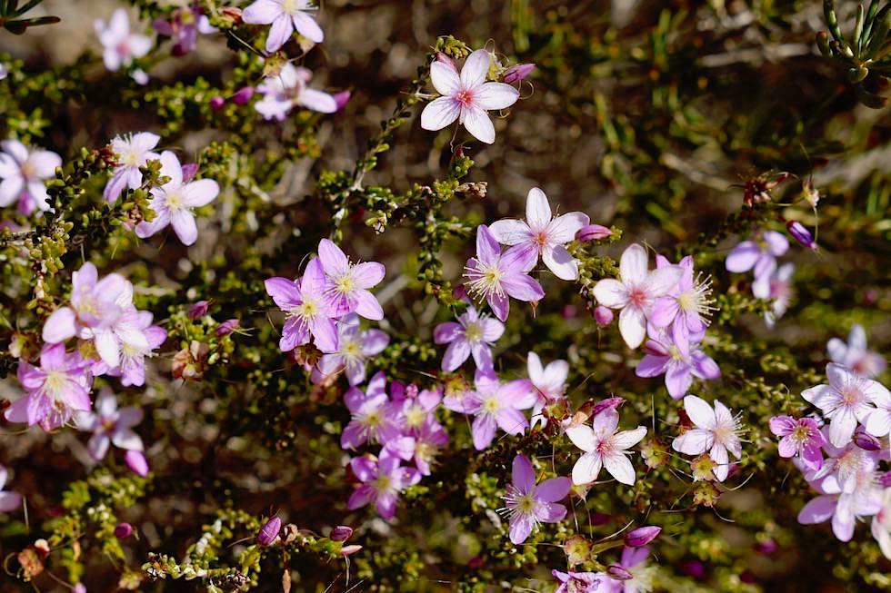 Starflower - Wildblumen im Lesueur National Park - Western Australia